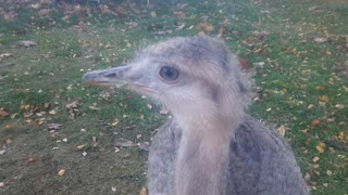 Naughty Rheas  - Video