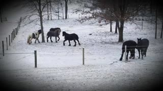 Beautiful horses playing in the snow  - Video