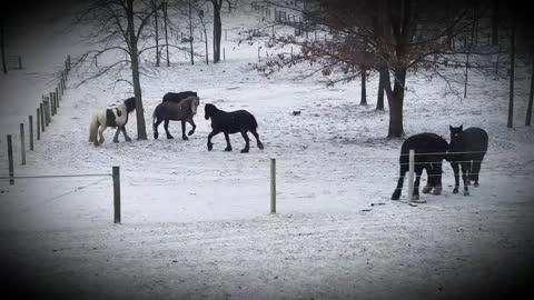 Beautiful horses playing in the snow