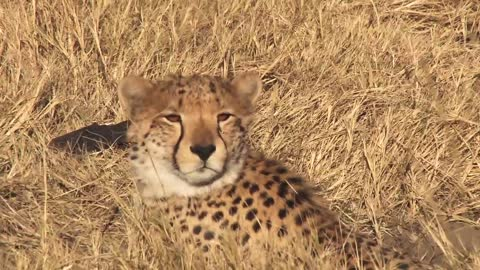 Incredible cheetah encounter during Botswana safari