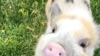 Cutest Pig Chew - Video