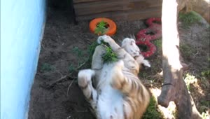 Playful tiger cub wrestles with plant - Video
