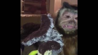 Ugly Monkey Loves His Stuffed Turkey - Video
