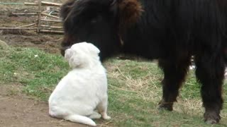 Young bison preciously befriends a guard-dog puppy