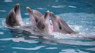Dolphins at a show