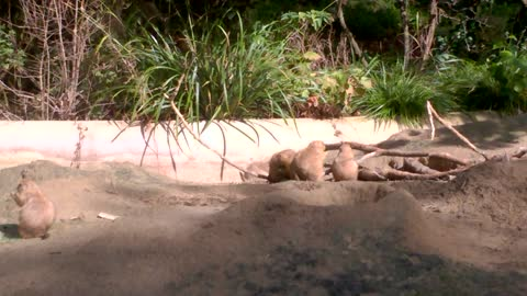 Adorable Prairie Dogs at the Artis Zoo