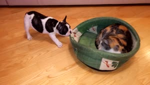 Puppy attempts to reclaim bed from cat - Video
