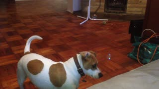 Jack Russell scared of floating bubbles - Video