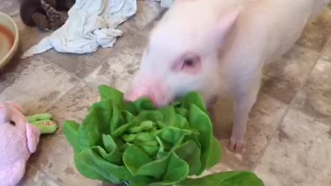 Mini pig can't contain his excitement for lettuce