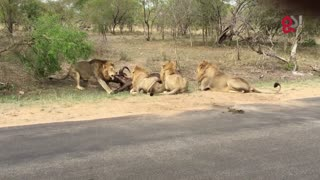 Lions attack buffalo meters from tourists - Video
