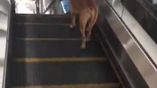 Dog Treadmill Escalator - Video