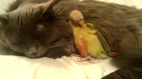 Elderly cat instantly befriends new baby parrot