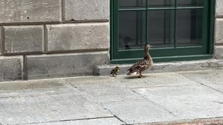 Duckling rescued from sewer in Montreal, reunited with mother