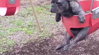French Bulldog ponders life while sitting in swing - Video