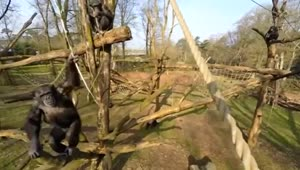Chimpanzee knocks drone out of sky with stick in Netherlands zoo - Video