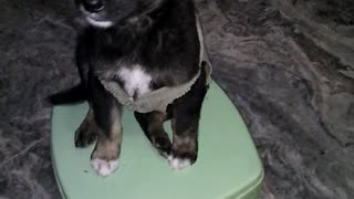 Cute puppy poses for the camera - Video