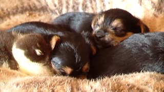 Baby Duck & Puppies - Video