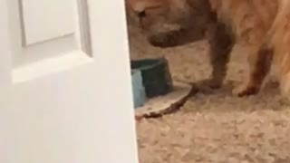 Cultured cat drinks water with paw