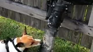 Jack Russell plays with an outboard engine