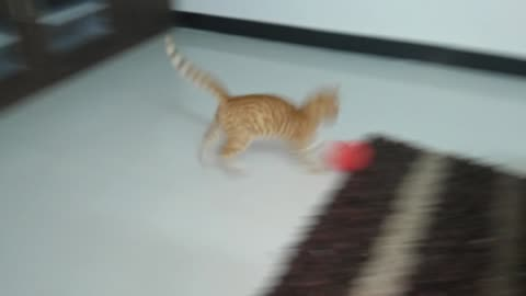 Kitten adorably practices football tricks with a balloon