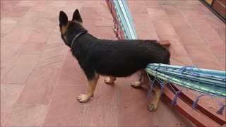 German Shepherd imprisoned - Video