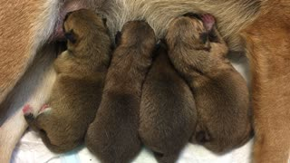 Quadruplet Puppies!  - Video