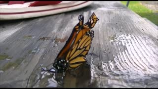 Butterfly takes a drink after being rescued from certain death