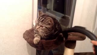 Cat enjoys with a vacuum cleaner