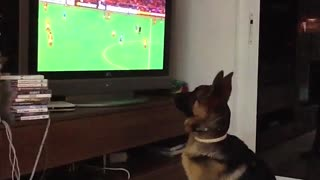 German Shepherd intensely watches soccer game - Video