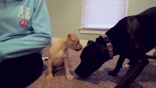 Fist day arriving home for new Pit Bull puppy - Video