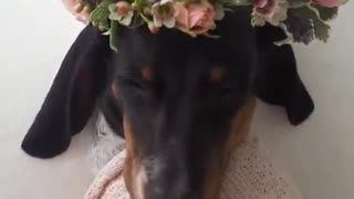 Black dog with flower crown wrapped - Video