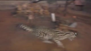 leopards play with laser  - Video