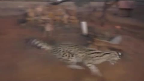 leopards play with laser
