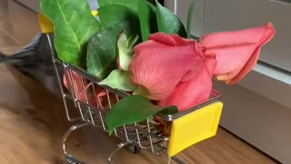 Parrot argues with his human, as he just wanted flowers from the grocery store