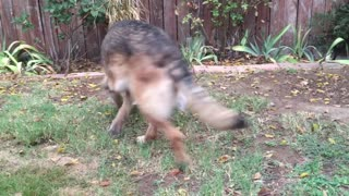 German Shepherd Plays With Rabbit in Backyard - Video