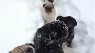 Pack of pugs enjoy heavy Swiss snowfall - Video