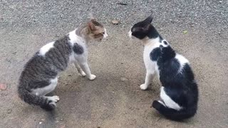 Cats Fighting with sound - Exclusive