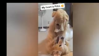 Dog is fascinated with new teddy bear