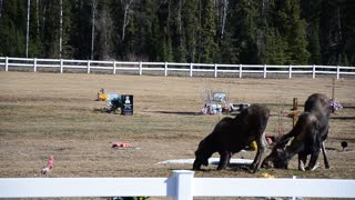 Are these moose praying at a cemetery grave site?
