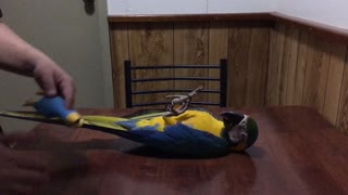 Macaw Parrot Loves Dog Toy