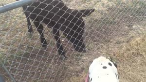 Cow desperately wants to play with Dalmatian - Video