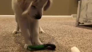 White dog playing with green brush and empty toilet paper towel roll - Video