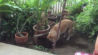 Dog in Thailand starts digging a hole for a VERY cute reason! - Video