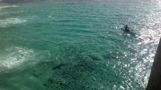 Galapagos Sharks Feeding Off of Ascension Island - Video
