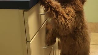 Brown dog stands next to counter looks like human