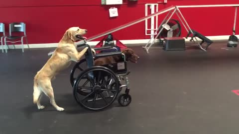 Golden Retriever Pushes Another Dog In Wheelchair