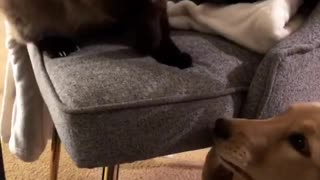 Cat shows playful puppy who's the boss
