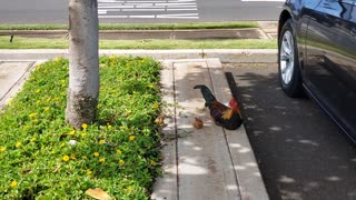 Rooster Chillin