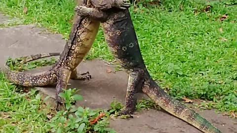 Dueling Monitor Lizards