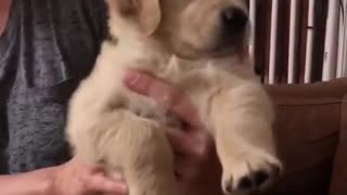 Little cute golden dog looking for some friends - Video